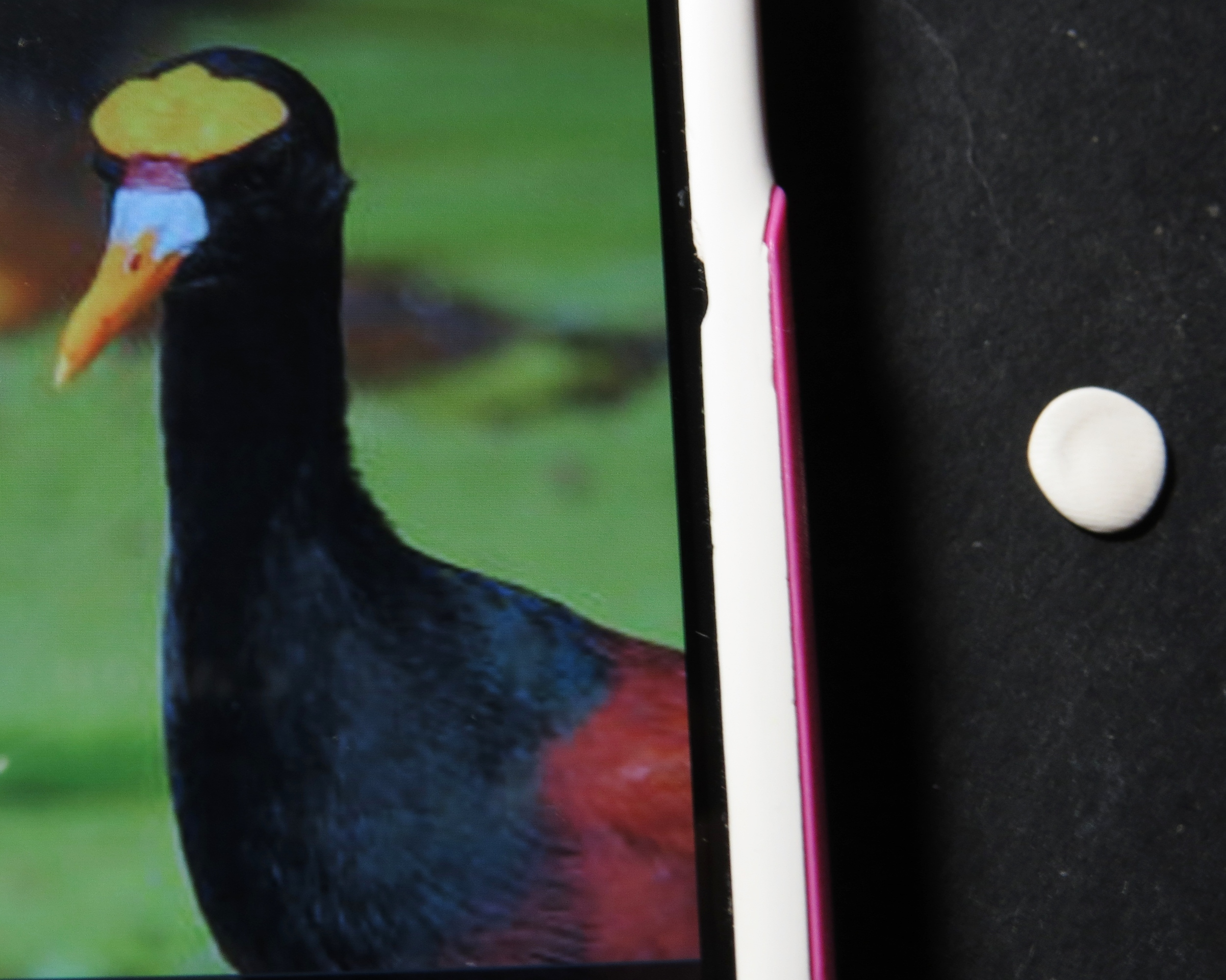 15. What's that big blobby thing on a jacana's forehead? I don't know, but I'm going to copy it.