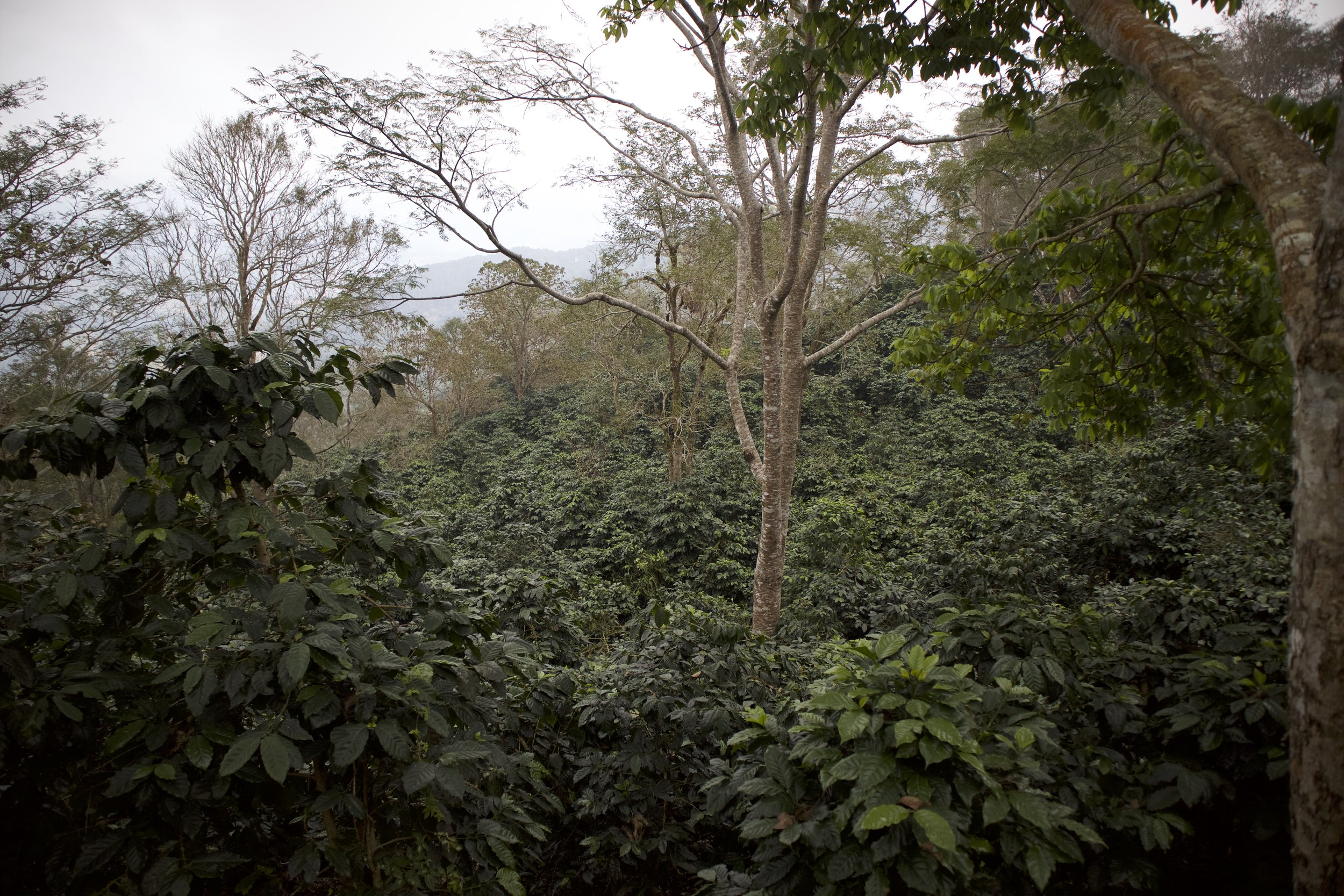 Doi Chang Coffee Jungle.jpg