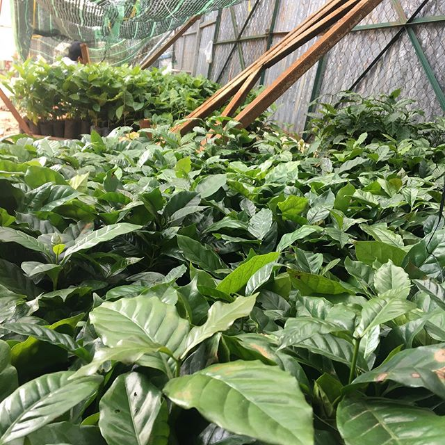 Wish I could share more about why I'm in Dalat this week... let's just say I'm working with some dear friends and trusted partners on the future of our industry. Meanwhile, you can  admire these babies who will be producing yummy coffee in a couple of years