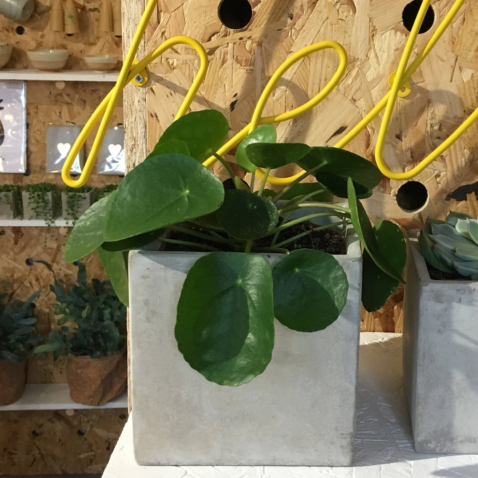 Chines Money Plant/Pilea Peperomioides - Light - Plenty, please Water - Keep moist but not over-watered Likes - Well-drained soil Hates - Direct sunlight will scorch those pancake leavesPet Friendly - Yes