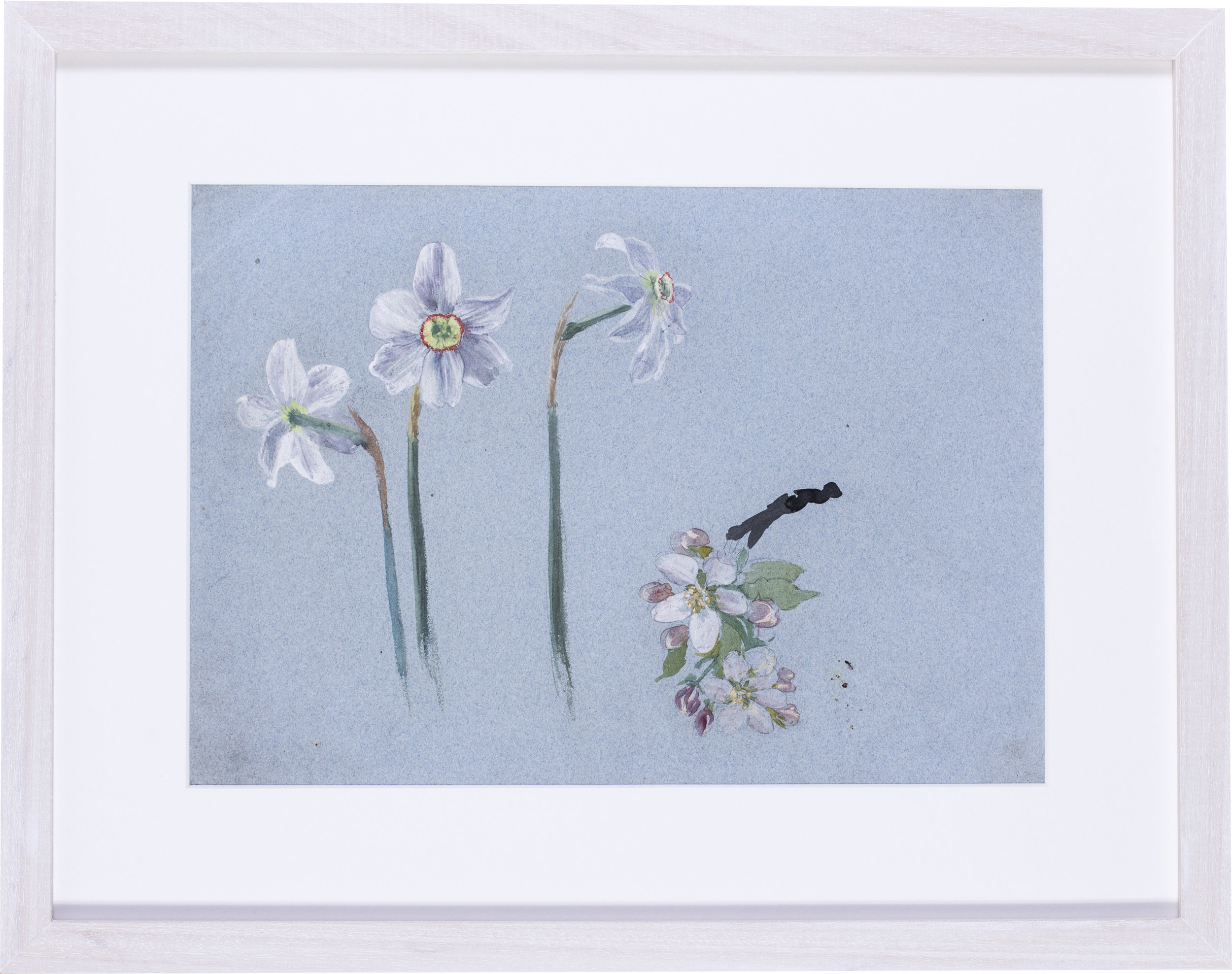 Narcissi and apple blossom   Watercolour heightened with white on blue paper  9.5/8 x 13.3/4 in. (24.5 x 35 cm.)  SOLD