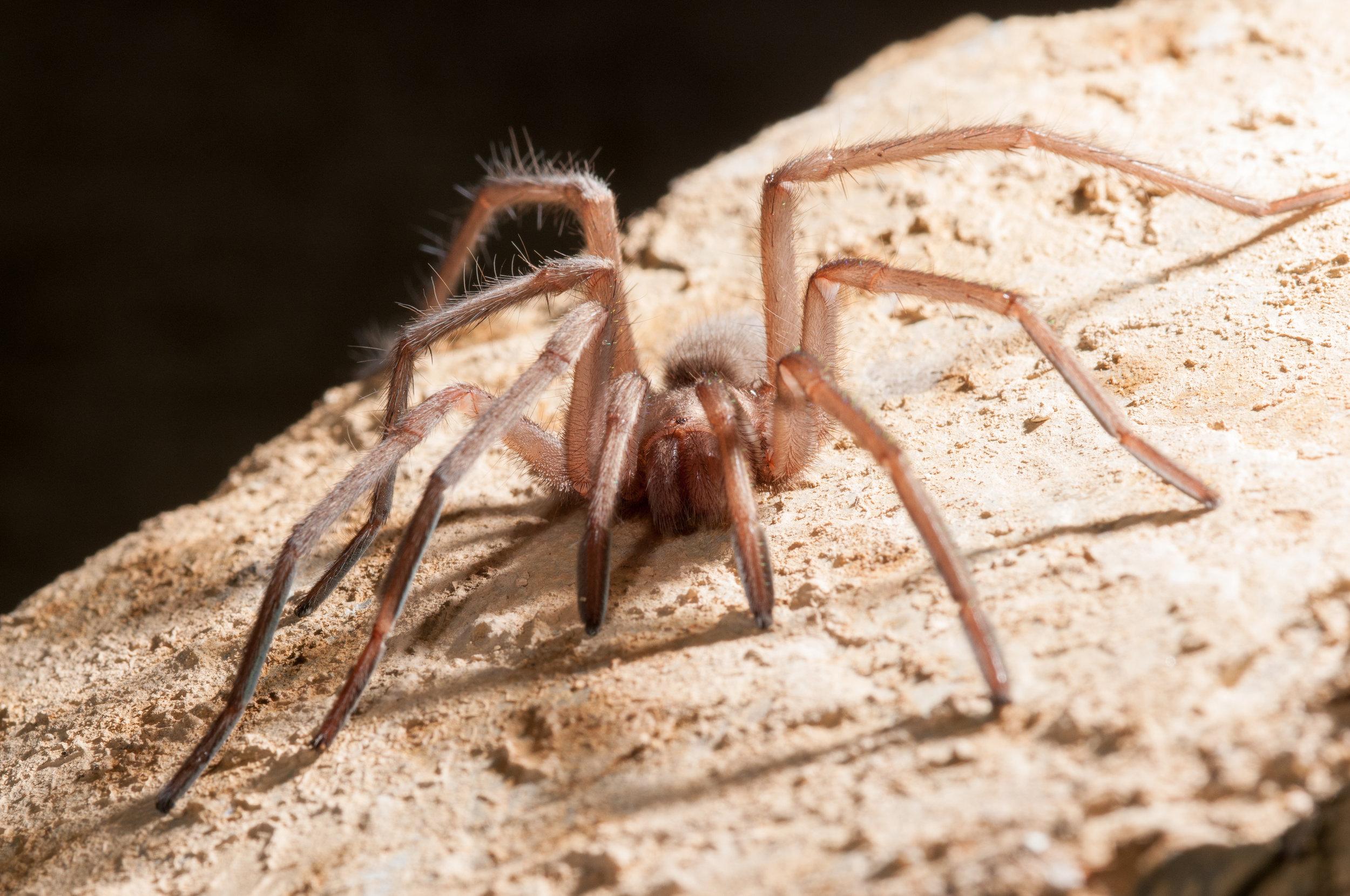 Troglobitic tarantula from Church Cave,  Hemirrhagus  sp.