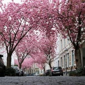 cherry-blossom-2198737_960_720.jpg