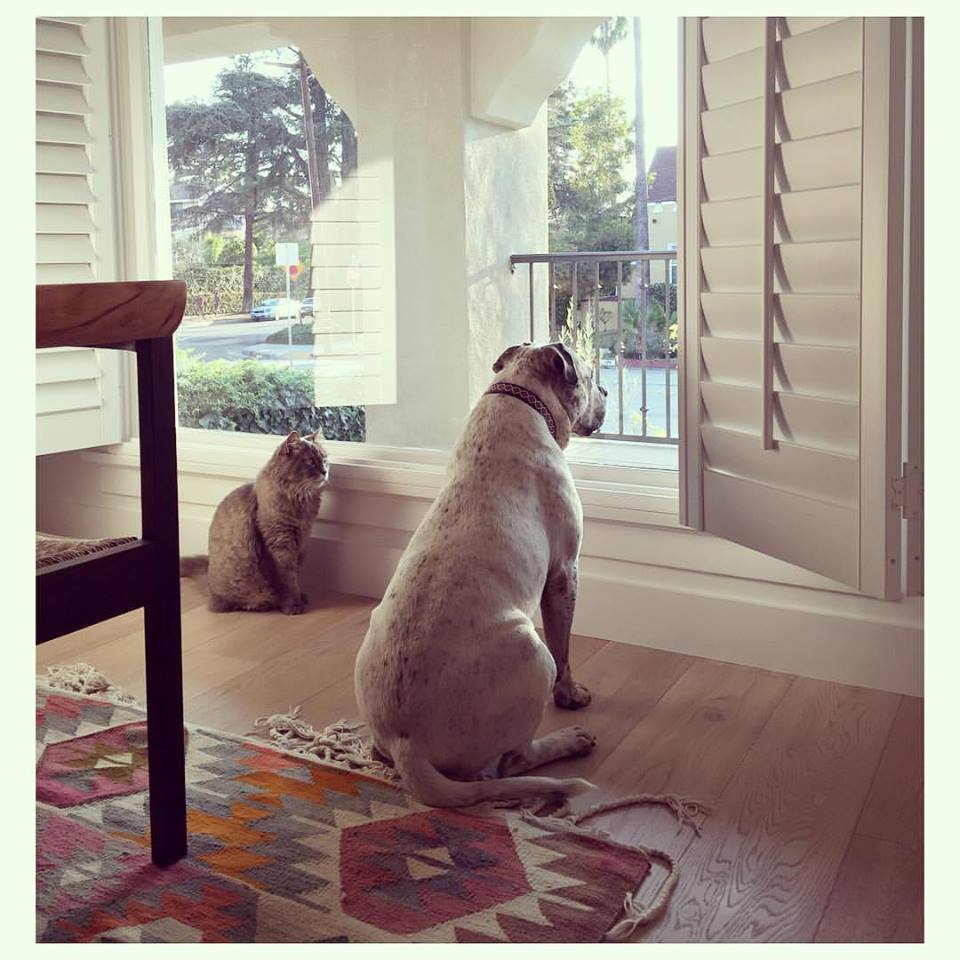 Our clients' own adorables, Mack and Baxter, perched by their new dining room kilim, patiently watching and waiting for their Mum to get home.