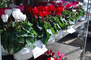 5 Cyclamen for £10 in store now.