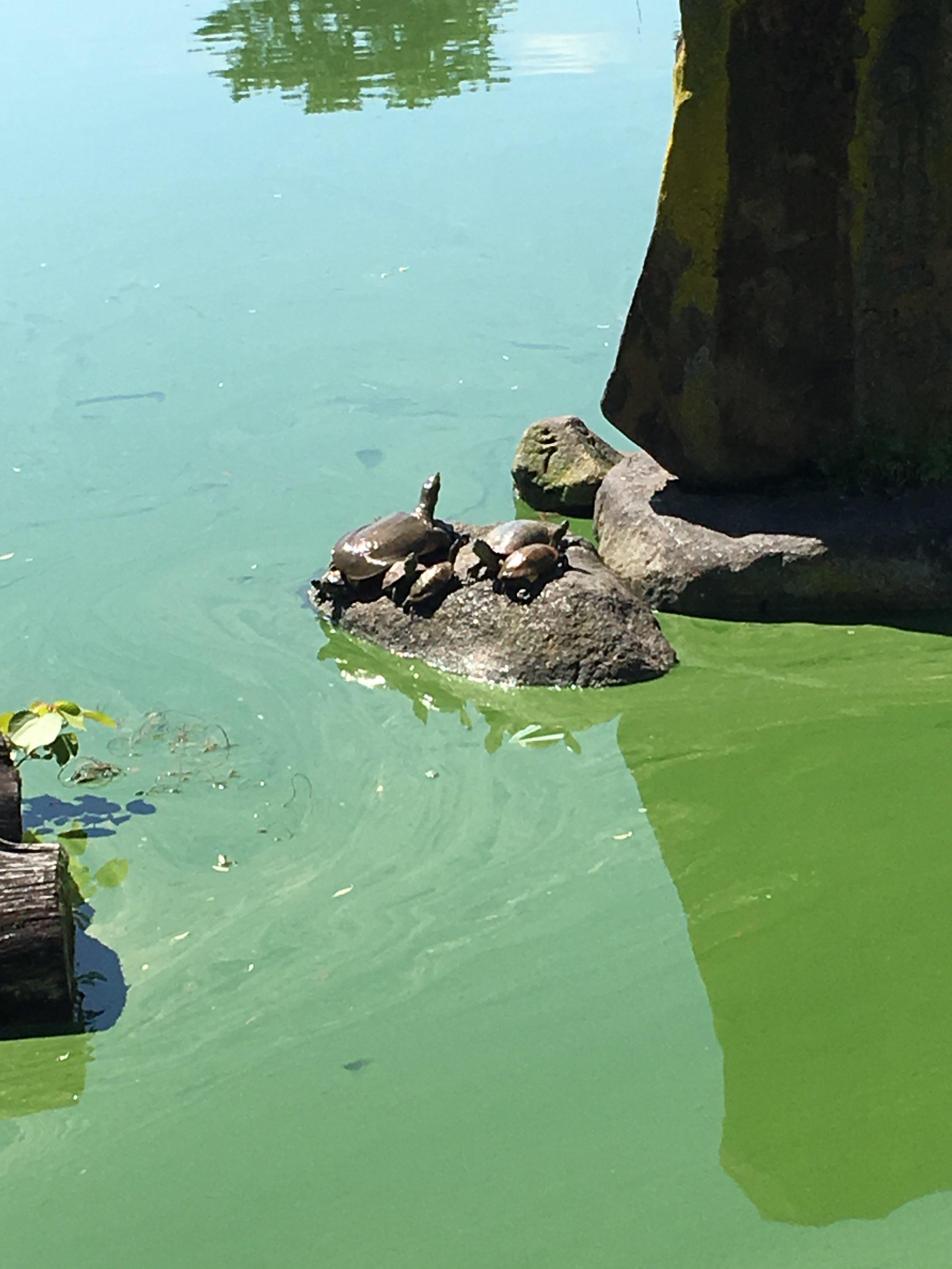 Some sunbathing turtles at Sarusawa Pond!