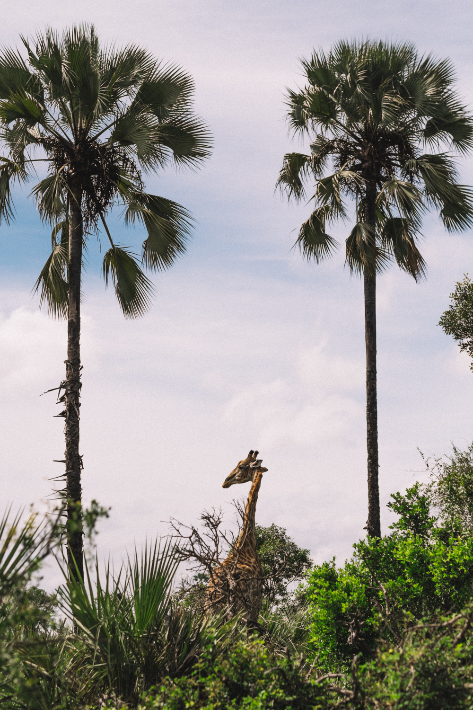 melissademata.com | Abu Camp Okavango Delta Botswana - Giraffe