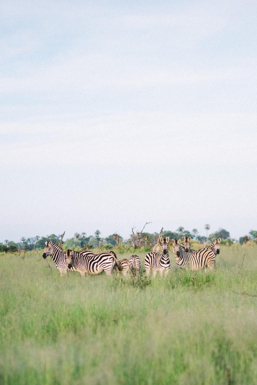melissademata.com | Abu Camp Okavango Delta Botswana - Zebras