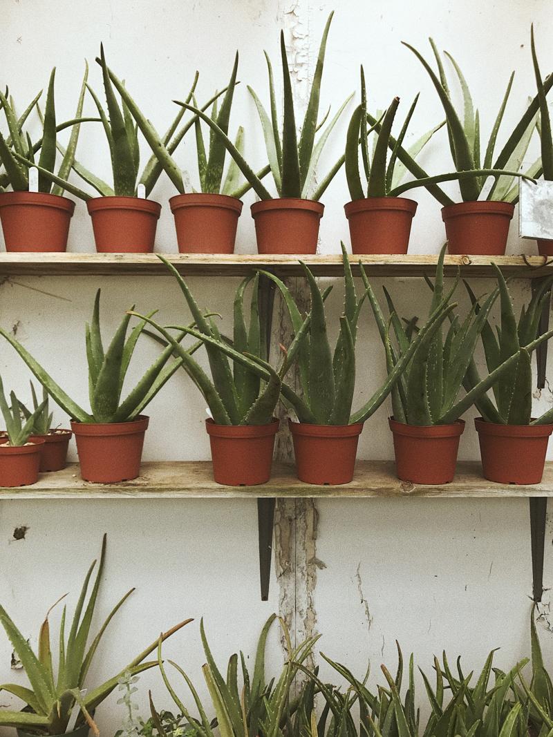 The Dry Garden Nursery   Aloe Vera