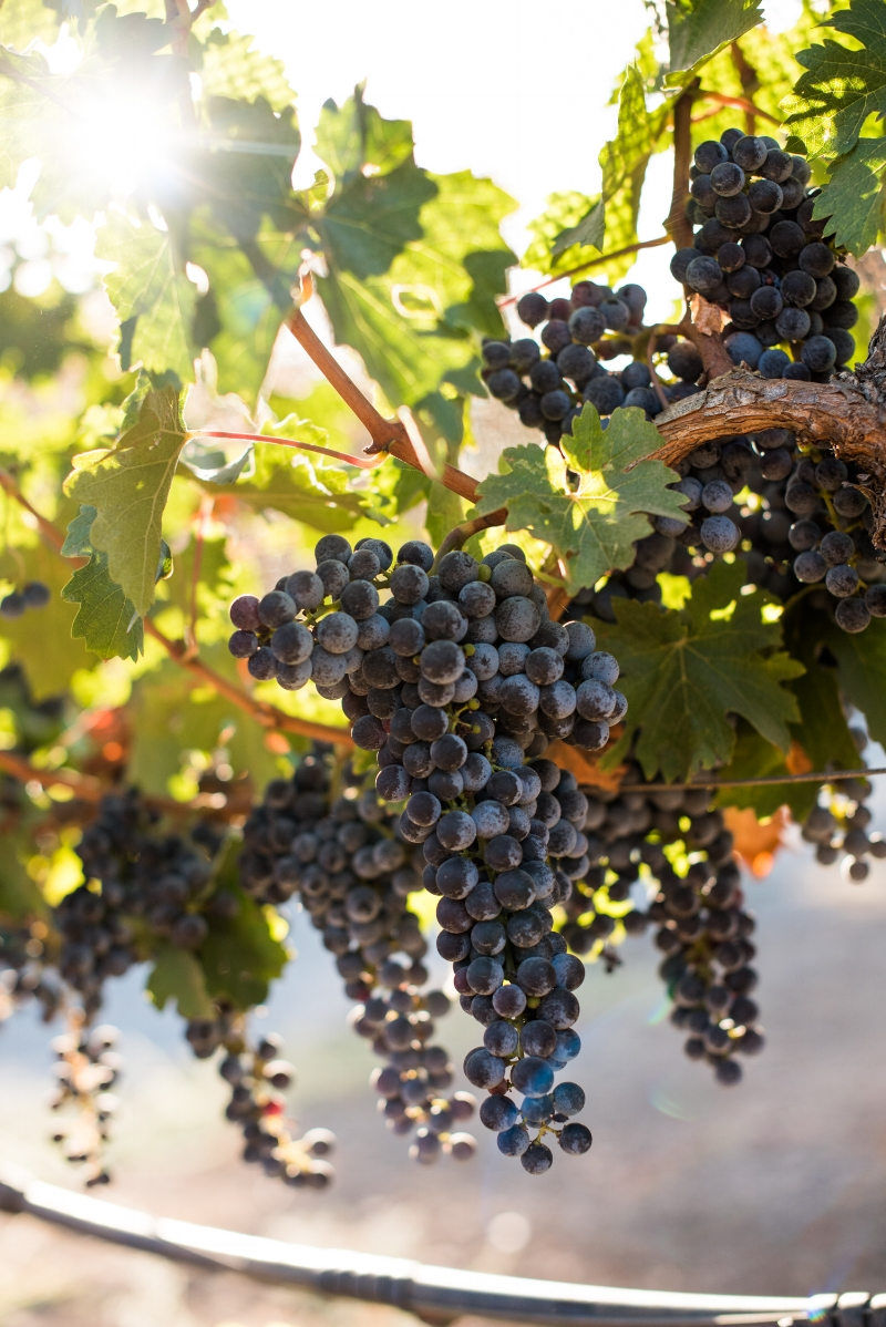 Sinegal Estate Winery Grapes