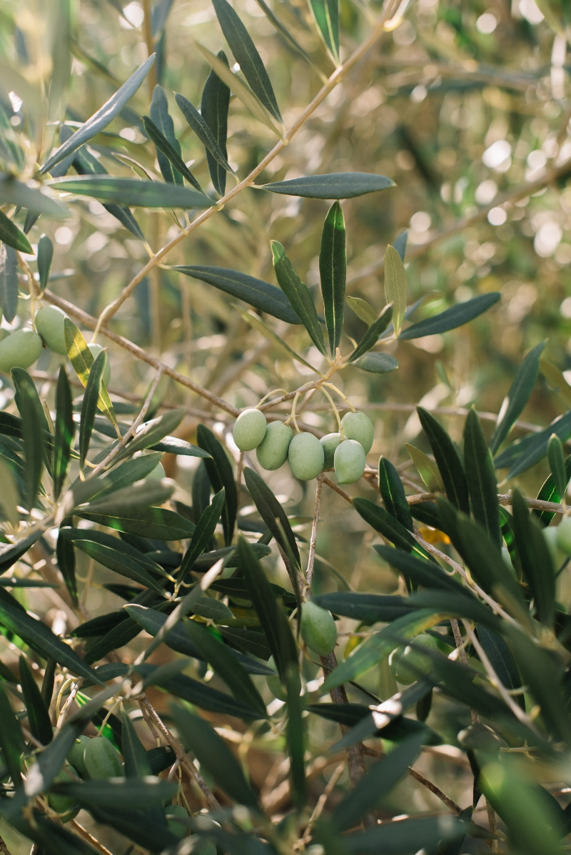 Sinegal Estate Winery | Garden Olive Tree