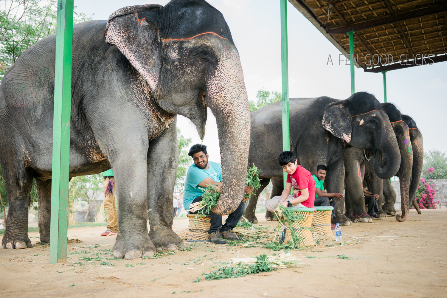 Smiles   Can you see Chanchal smiling here? Magical indeed!  #howtomakeelephantshappy ?  #feed #greengrass . Apparently she loves the green bits and the best kept secret told to us by her caretaker Shakir, that bundle up the green grass with the dried hay to ensure she gets all the nutrition. Sounds familiar parents? Yes, elephants are very smart and  just like your naughty tots they know exactly how to separate the greens from the hay.