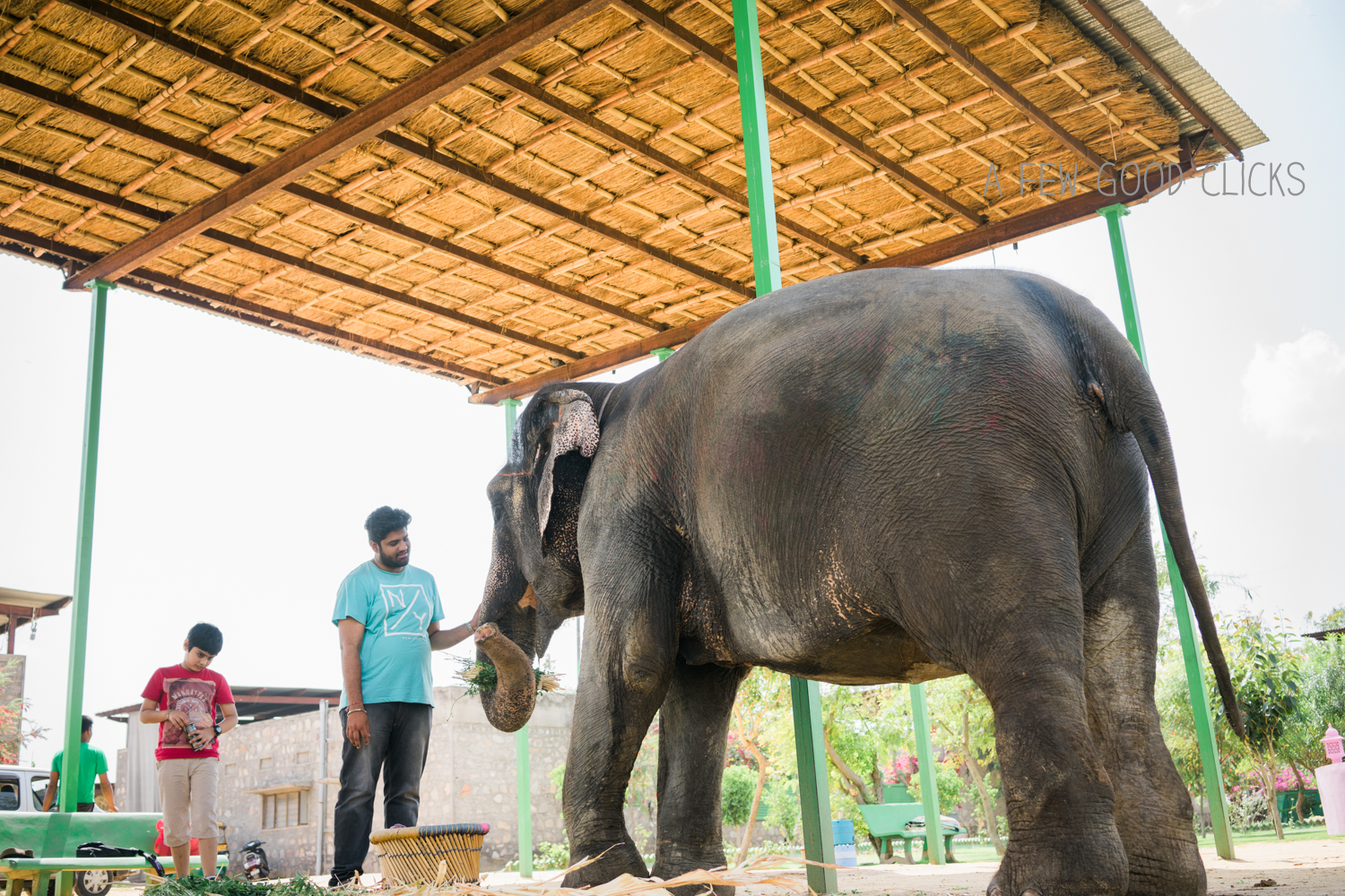 Chanchal - was well fed while we prepared for our next ordeal with Shakir, the mahout.Their caretakers are called Mahouts. Their painstaking attention to detail, transforms their habitat into a flourishing play ground at  elephant farm  just a few kms from Amber fort in Jaipur.