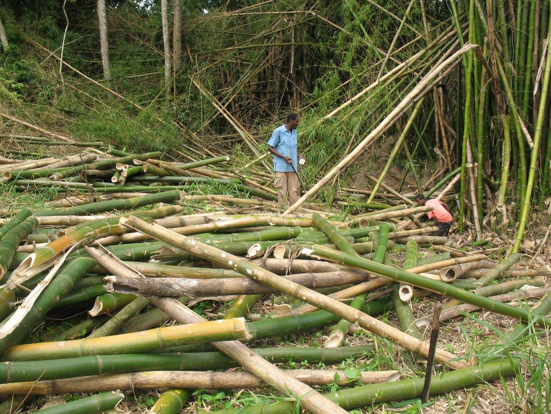 Cutting Bamboo.jpg