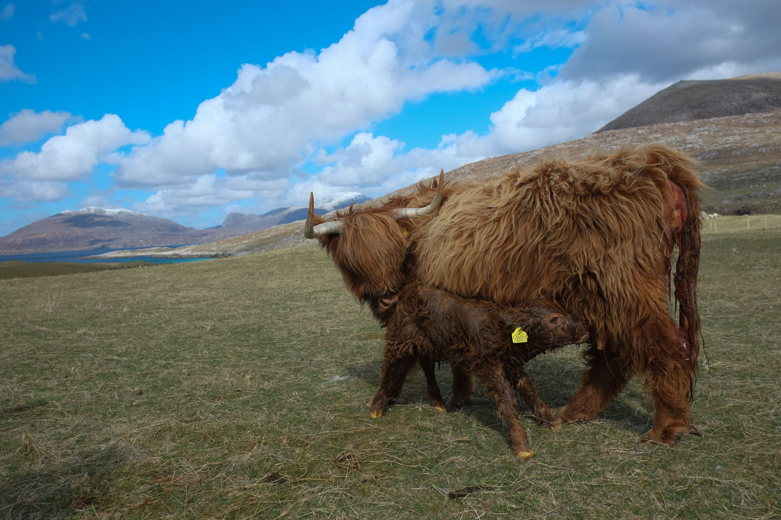 On  a walk, just inland from the dunes, I chanced upon this highland calf being born, licked fluffy,   take his first steps and feed;   all within half an hour! What a gift.