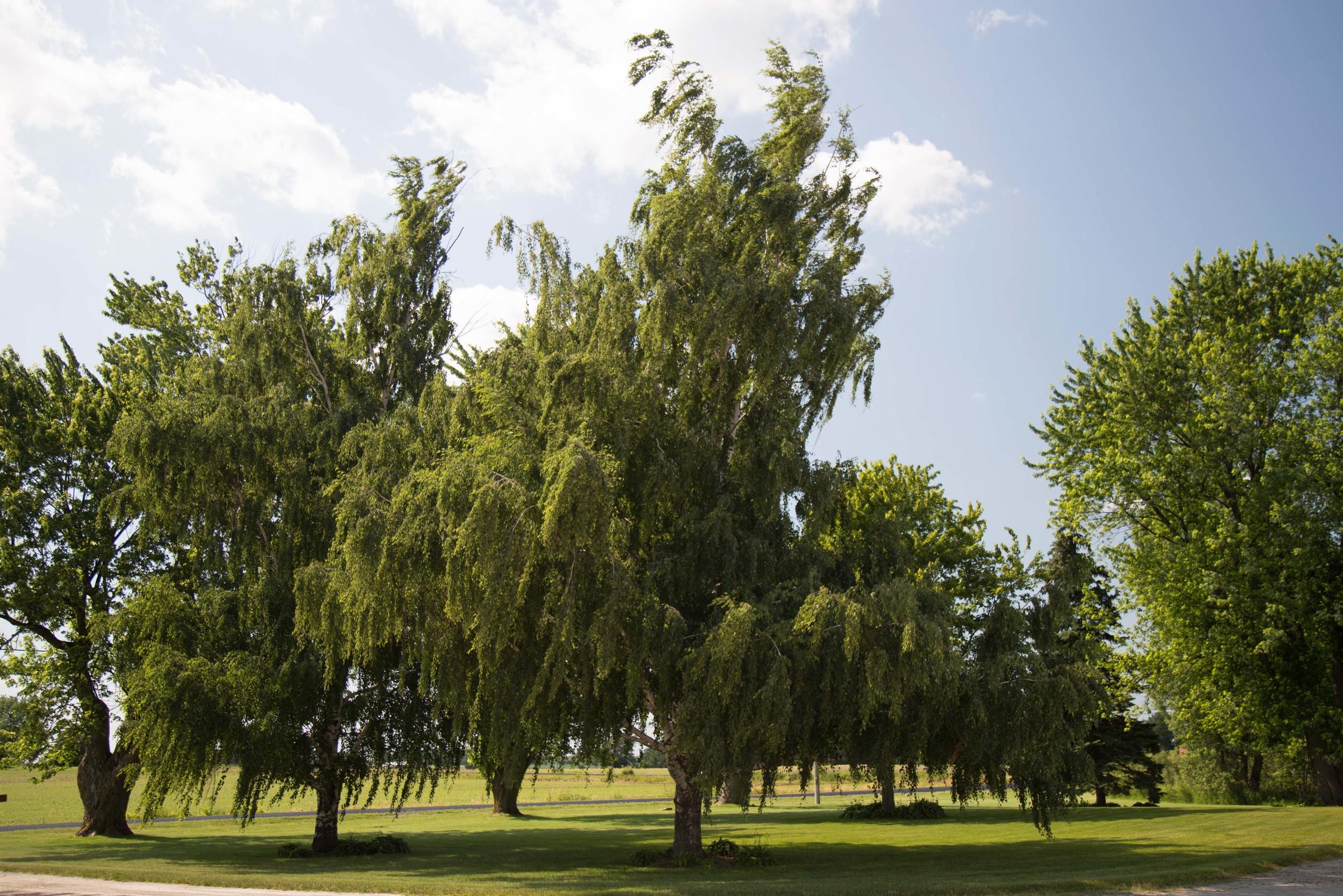 6_27-Birches_6171 2.jpg