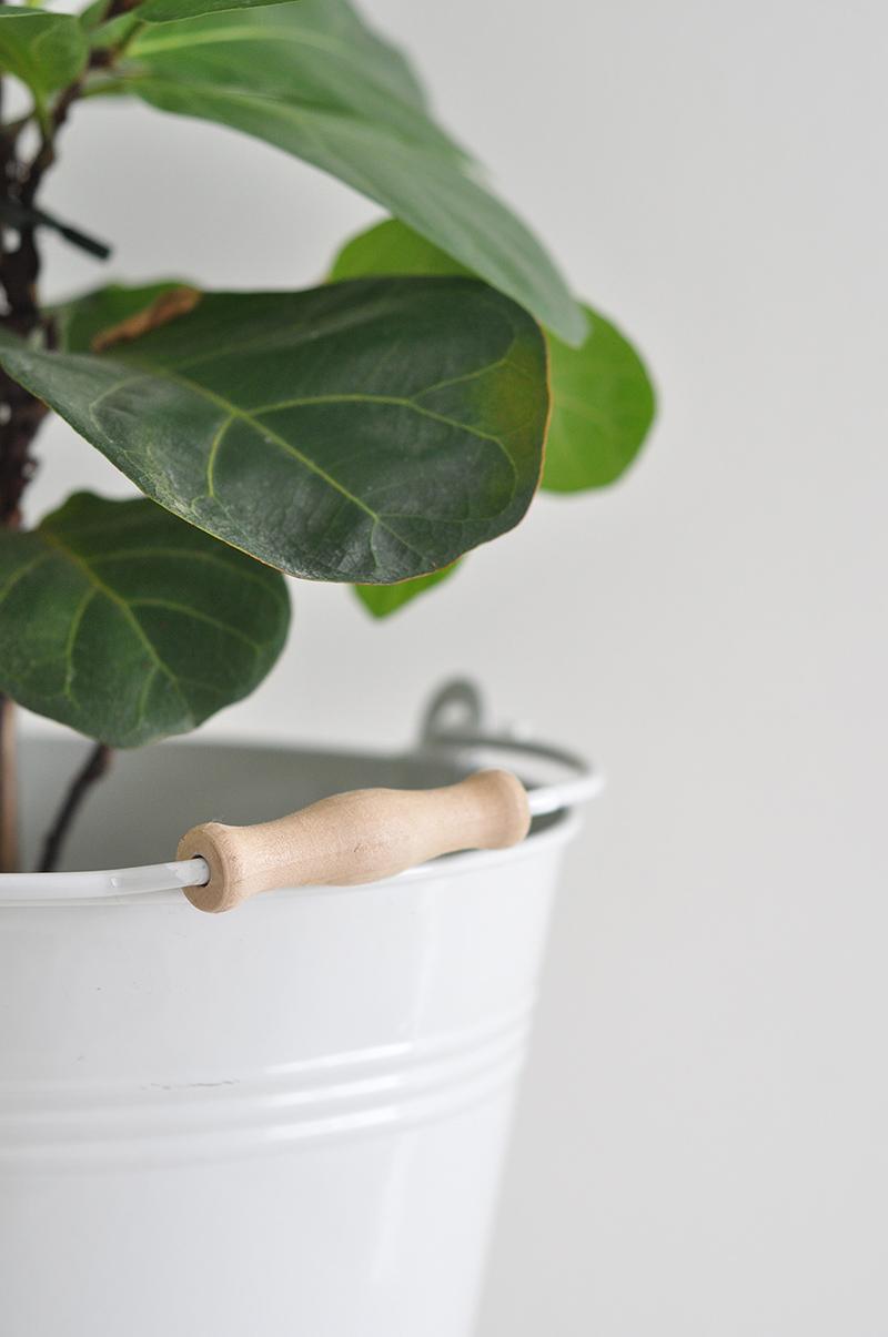 Ficus Lyrata - Bambino - Fiddle Leaf Fig