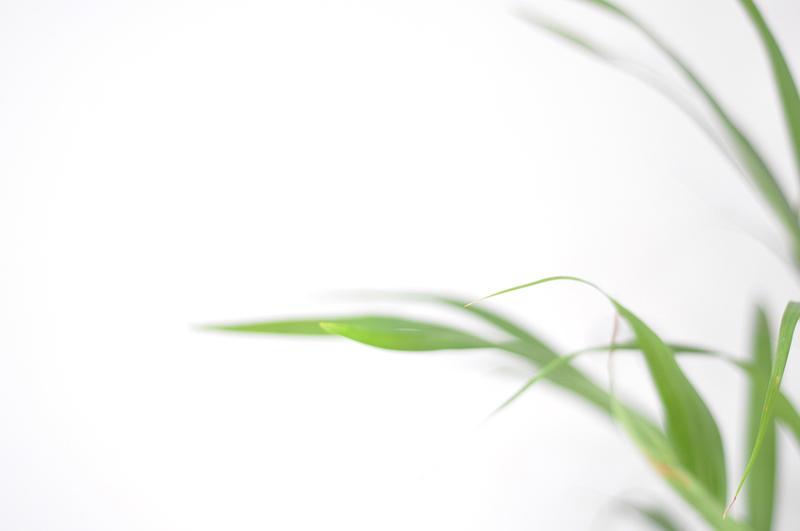 Dypsis Lutescens - Golden Cane Palm