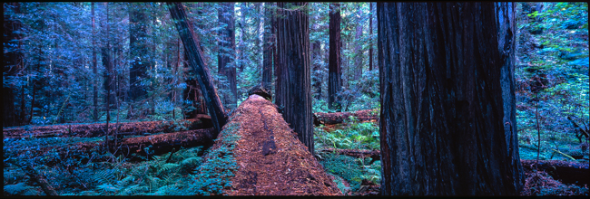 Fallen Redwoods, click on the image to see it bigger