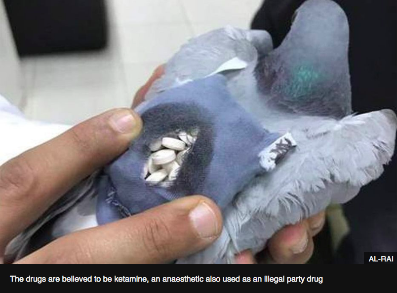 An example of facts used in leaflet: drug dealing, is one of the uses humans have made of pigeons' excellent navigation skills.