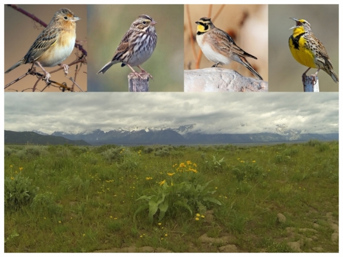 Grassland birds might be more vulnerable to climate change because of diminished buffering capacity of grassland ecosystems.