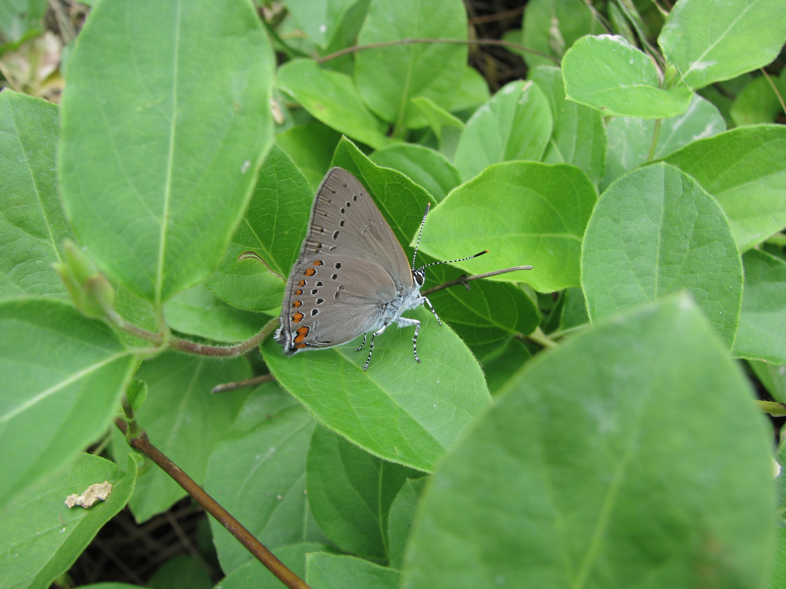 Coral Hairstreak with clubbed antennae.