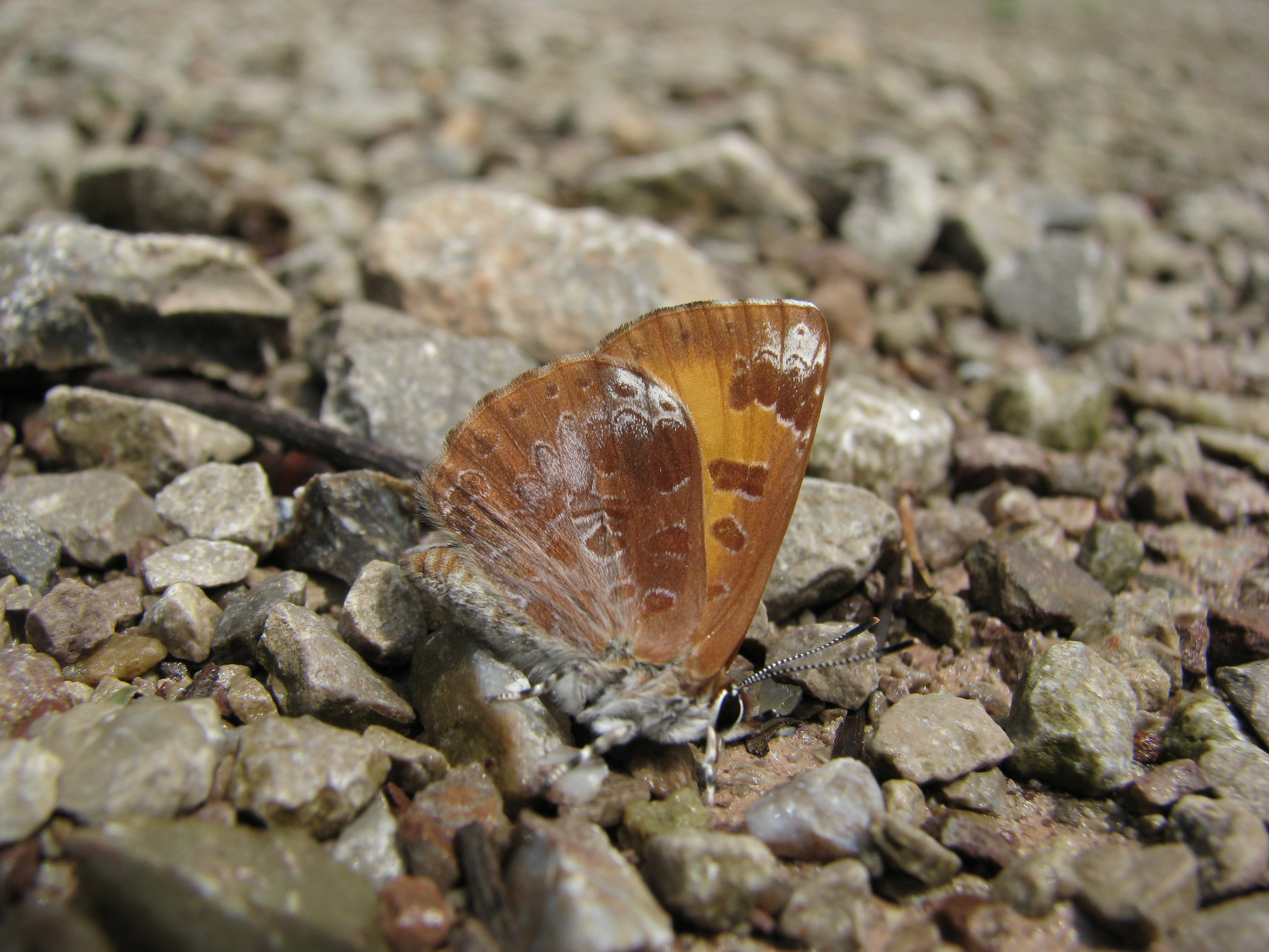 Harvester butterfly displaying 'normal' butterfly resting position.