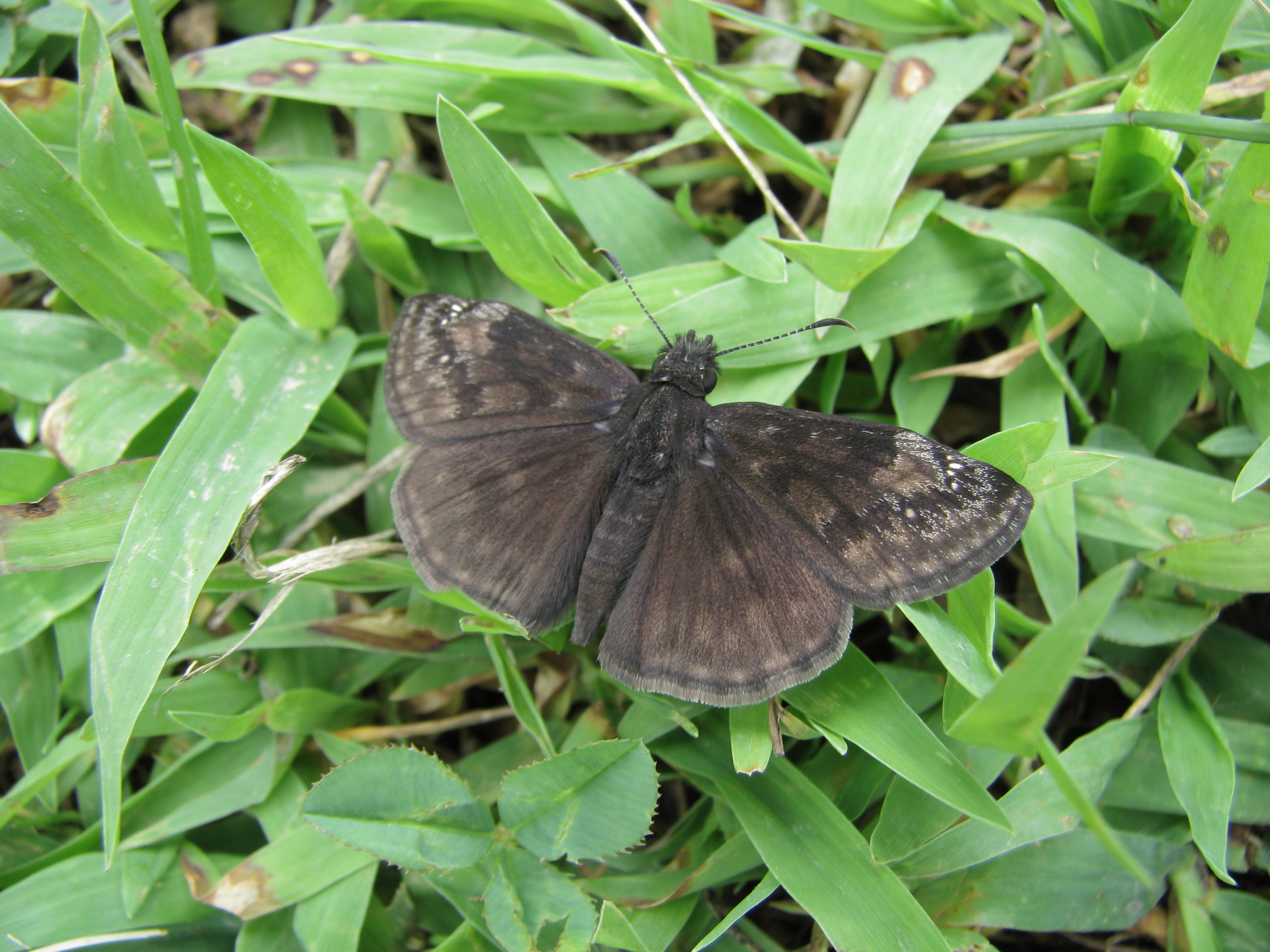 Wild Indigo Duskywing (a spreadwing skipper) at rest with wings spread.