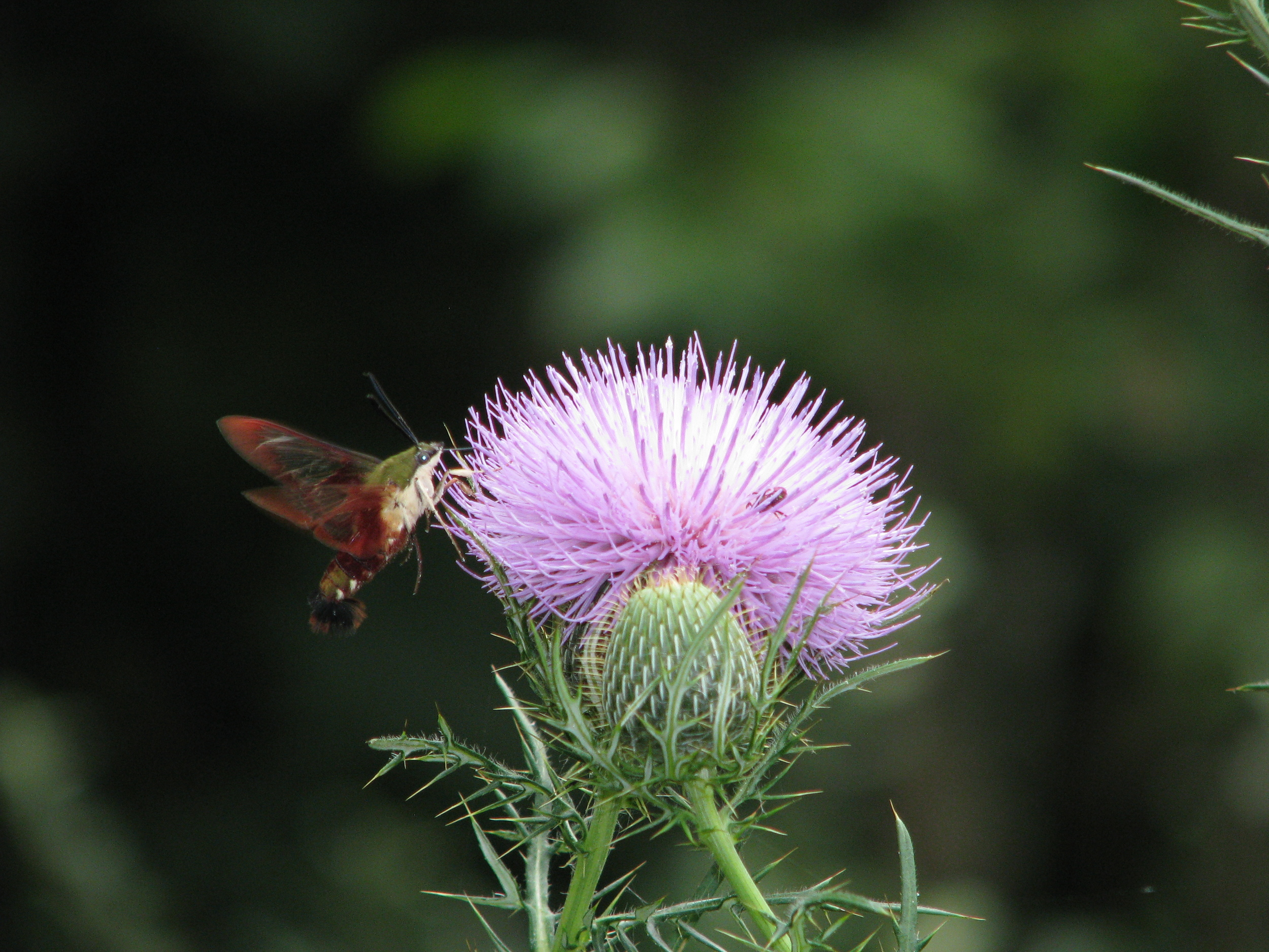 Hummingbird Clearwing Moth, active during the day.