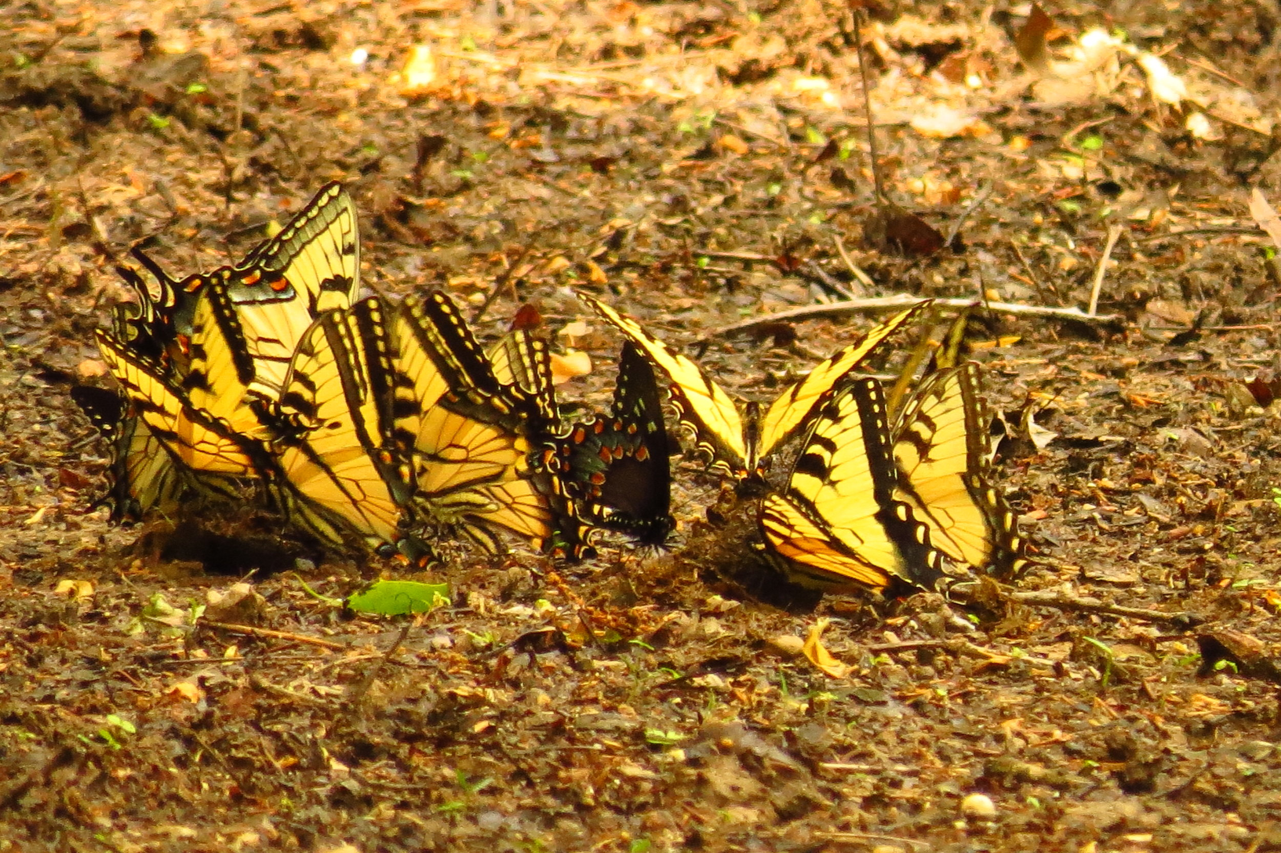Eastern Tiger Swallowtails with a lone Spicebush Swallowtail