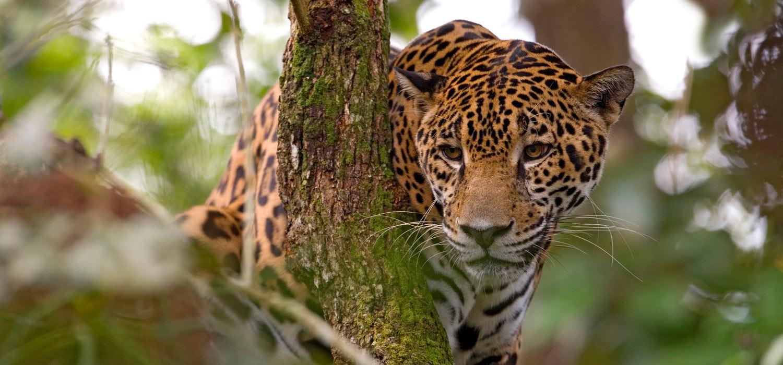 Jaguar Trekking