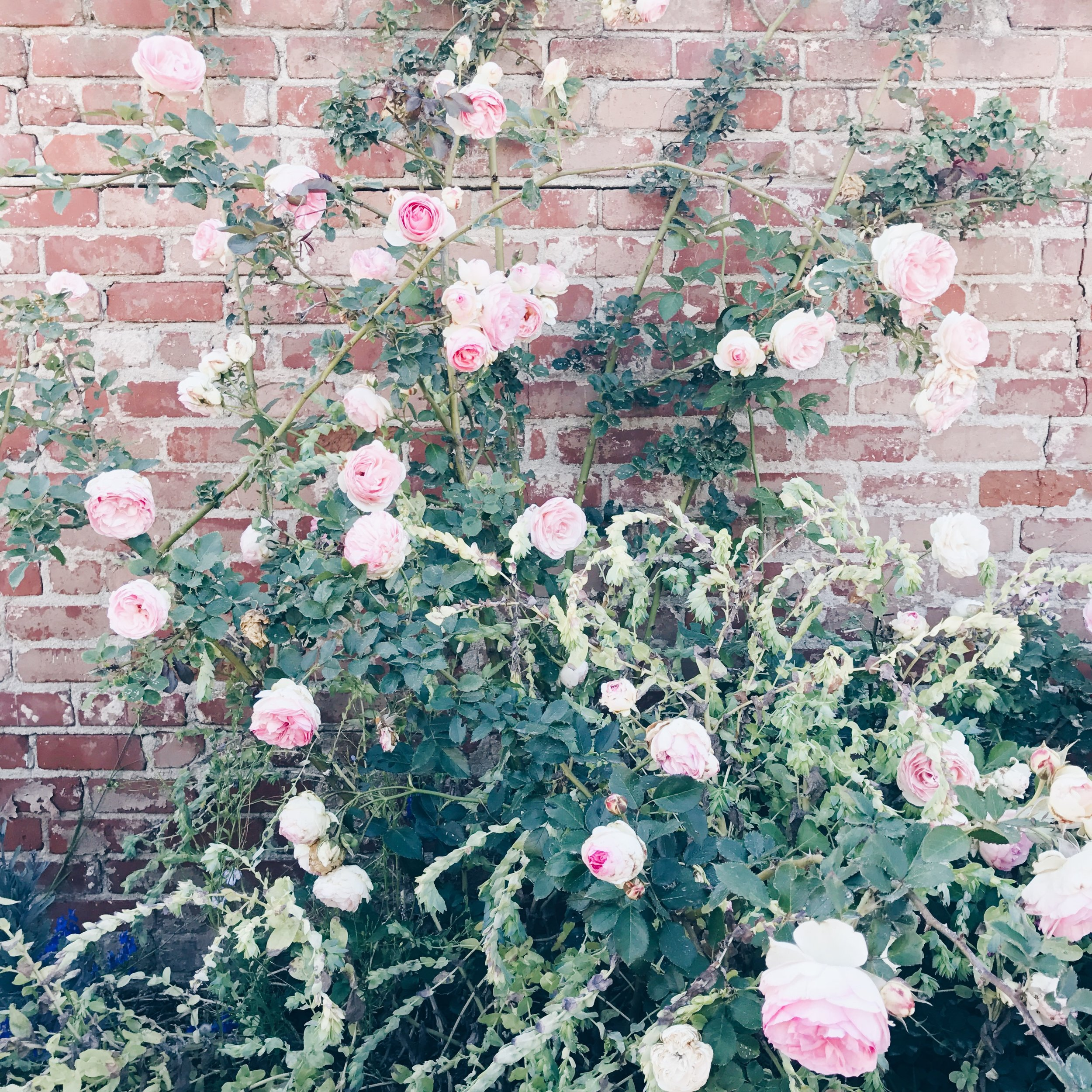 garden rose bush