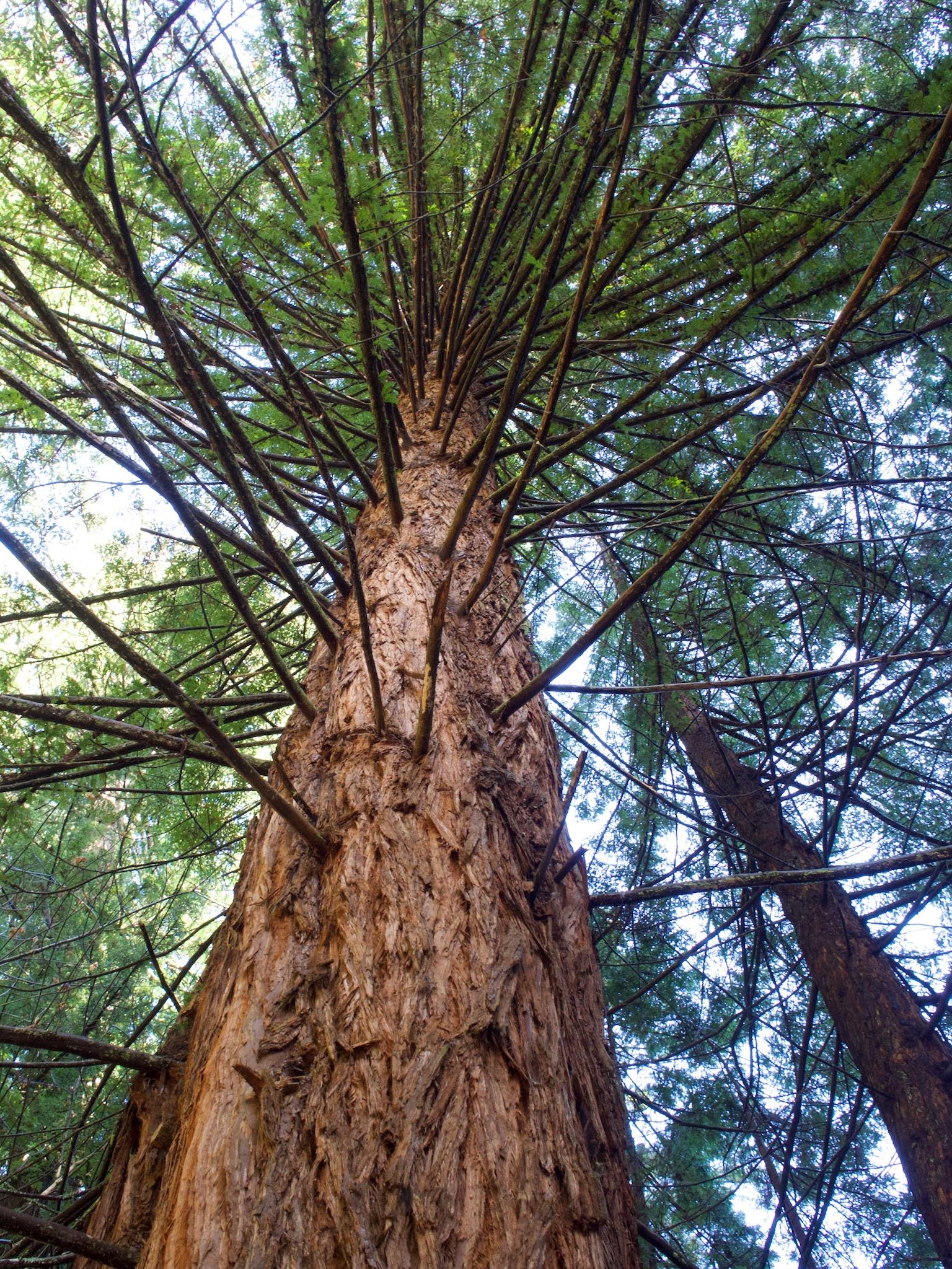 redwood 2.jpg