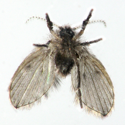 clogmia albipunctata.jpg
