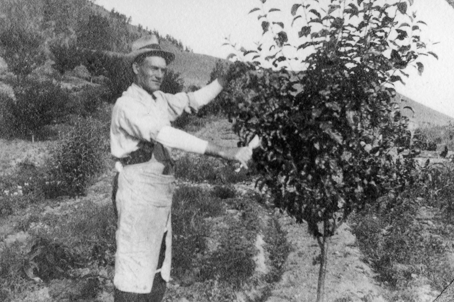 Harry Tavender pruning the first apple trees on the property, 1912