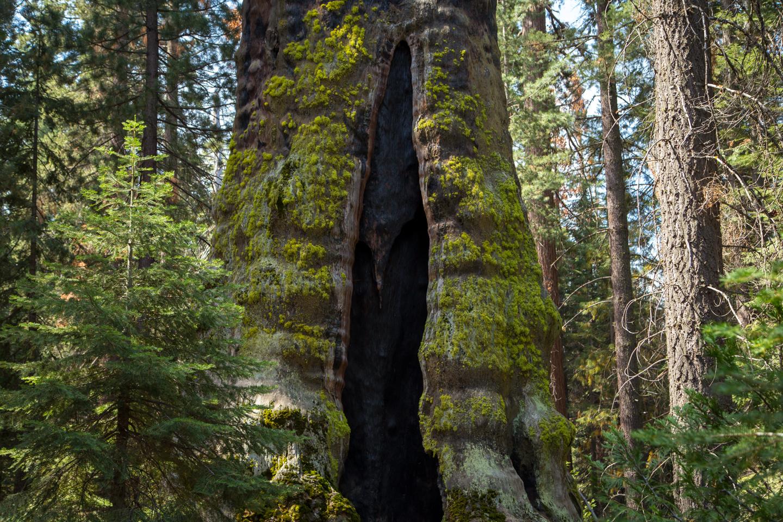 John Muir's Tree