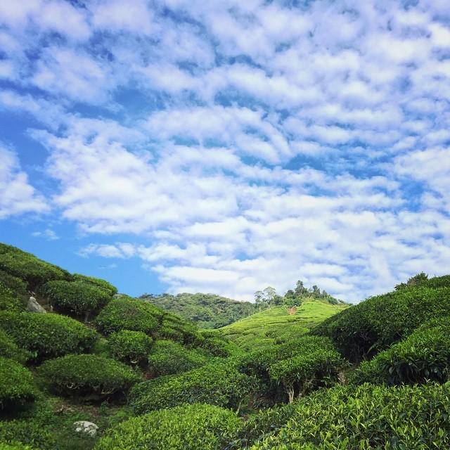 teaplantations_malaysia.jpg