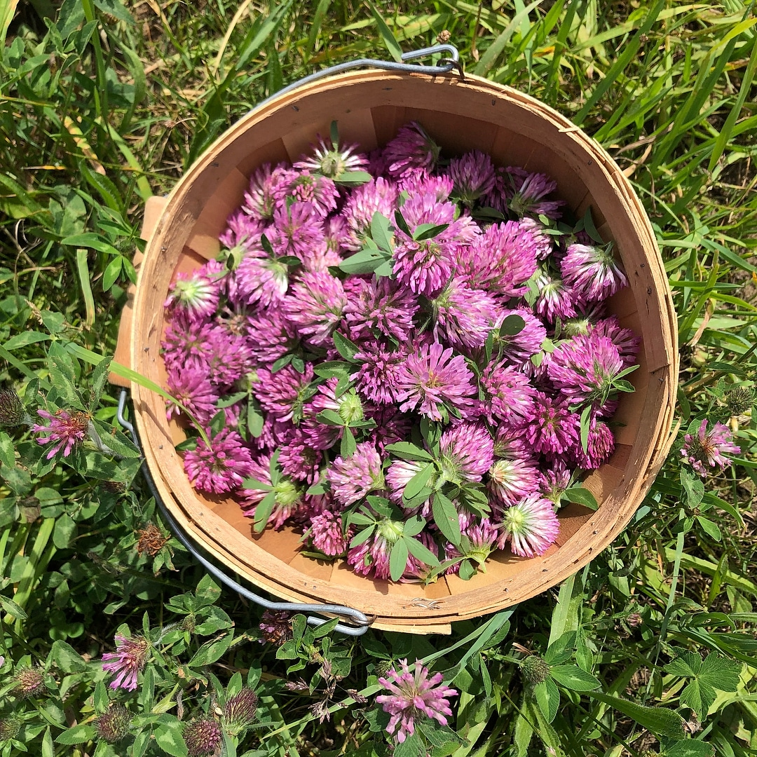 Freshly gathered Red Clover.