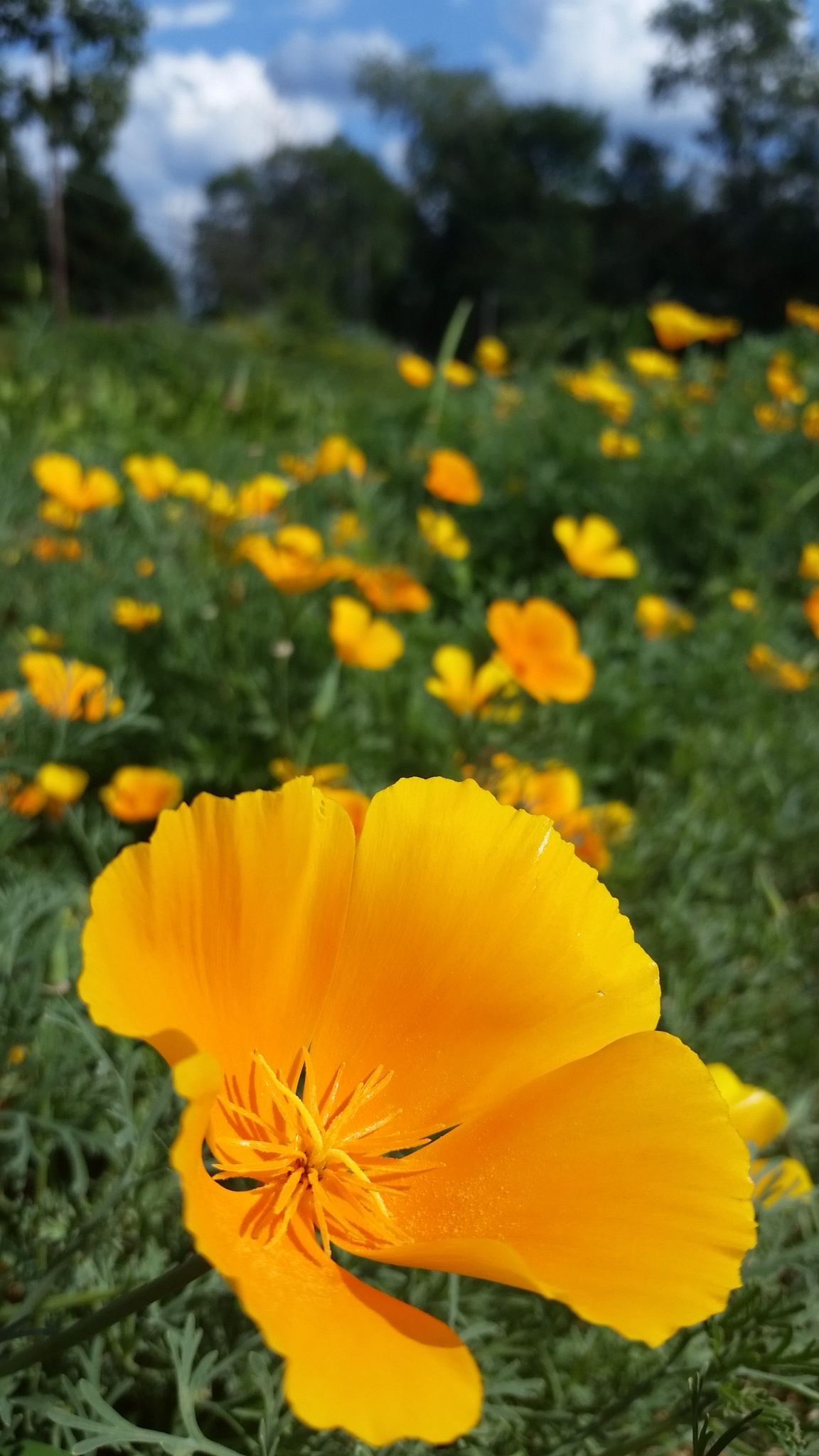 A sunny patch of California Poppy.