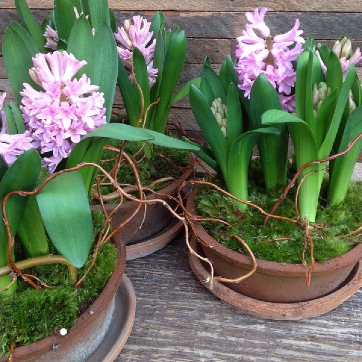 Planted Blooming Bulbs  long lasting and fragrant starting at $85