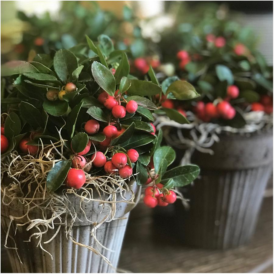 WinterberryHP.jpg
