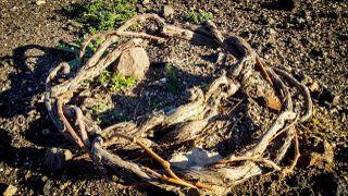 "The traditional Santorini ""kouloura""."
