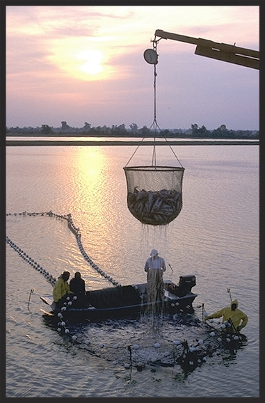 Aquaculture - workers harvest catfish from the Delta Pride Catfish farms in Mississippi.Image source:  Delta Pride Catfish farm harvest.jpg by Ken Hammond, USDA OnLine Photography Center, is licensed under  Public Domain Mark 1.0