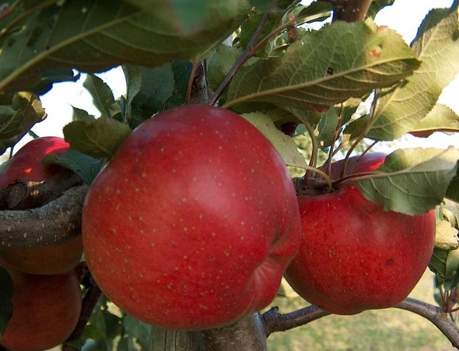 The Melrose apple : the official apple of the state of Ohio. The Melrose is a cultivar developed in Ohio by the  Ohio Agricultural Research and Development Center , Wooster, in 1944. Image source:  Melrose-Apfel.jpg  by  MarkusHagenlocher  is licensed under  CC BY-SA 3.0