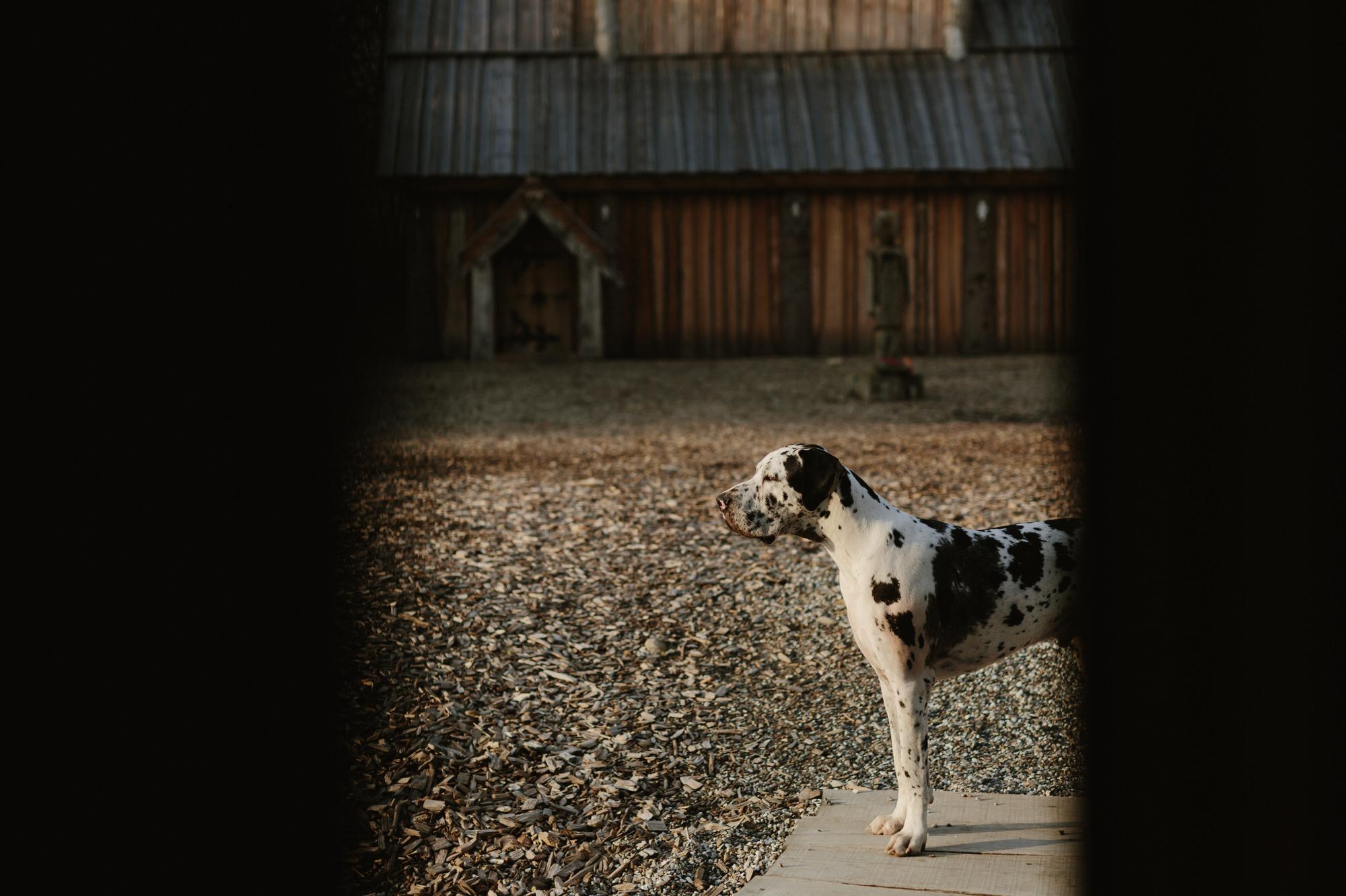 large-dalmation-danish-jim-lingvild-dog-highland-park-valkyrie.jpg