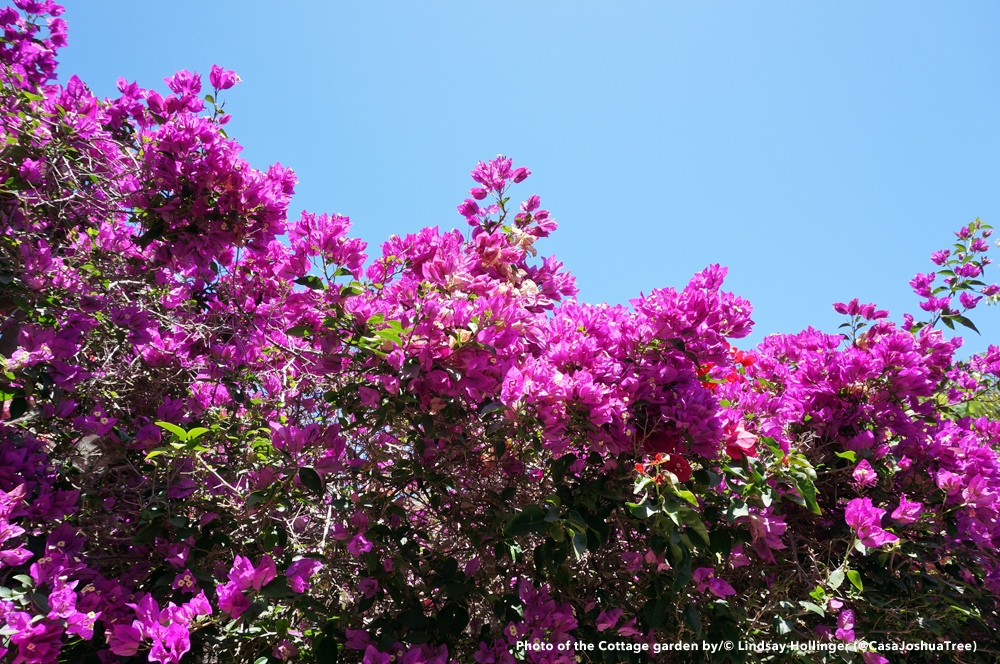 Above: Bougainvillea surrounding the Cottage garden.