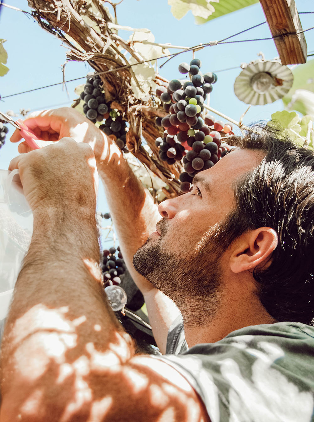 Above: Adam clipping grape clusters.