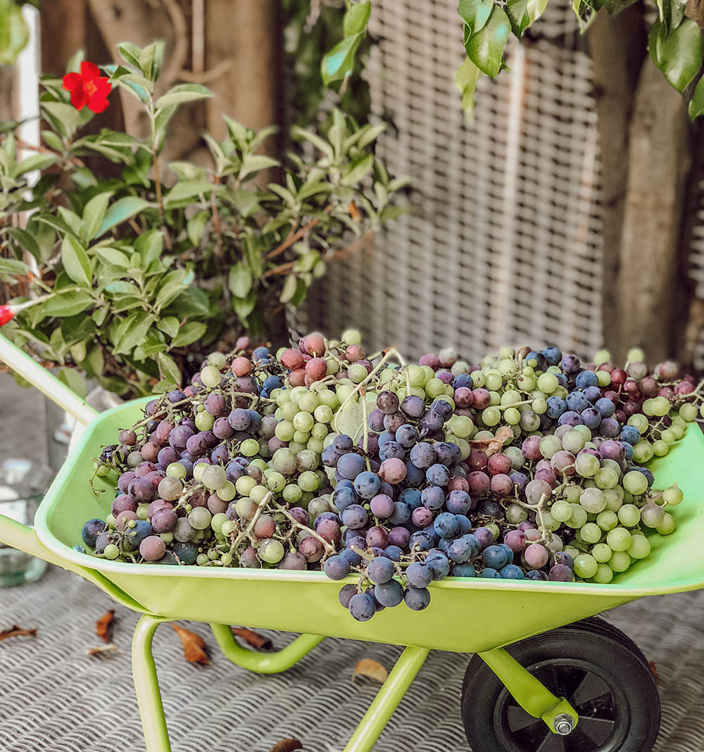 Above: We used West's  toy wheelbarrow  to sort batches of grapes-- it's larger than any bowl we have on-hand.
