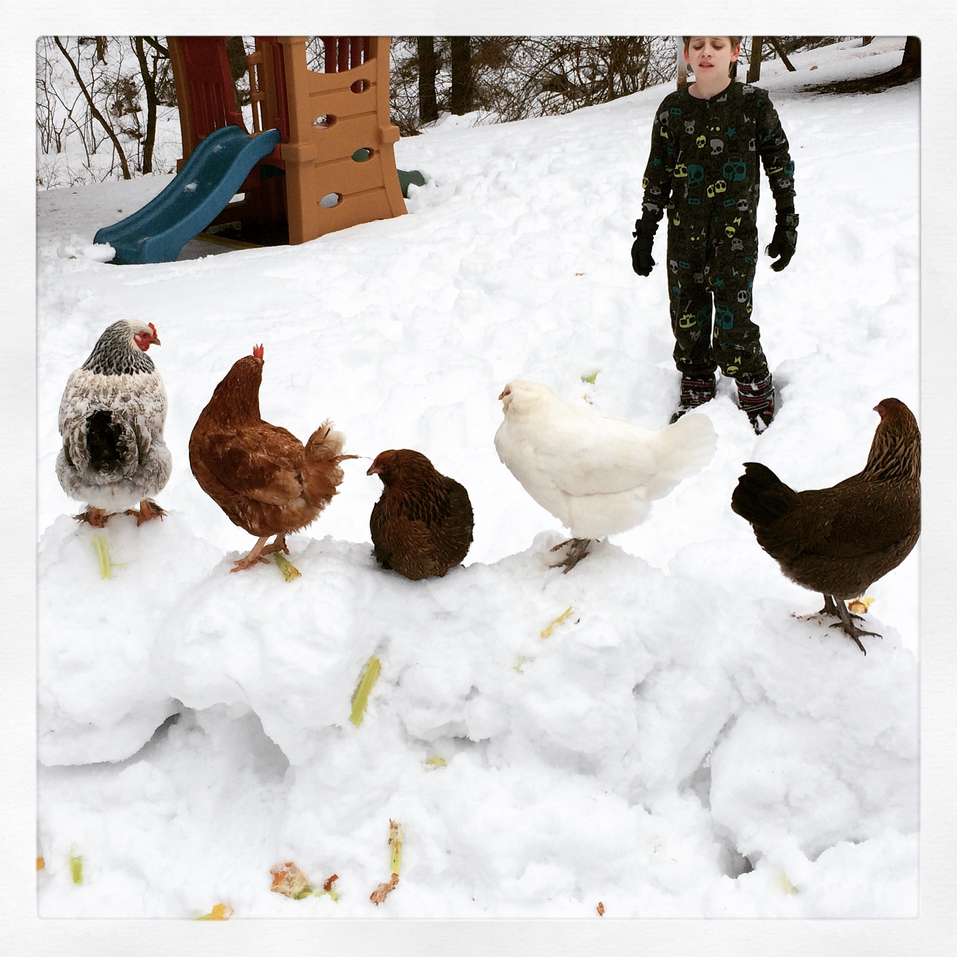 Speaking of pigs: Chickens are not fond of snow.