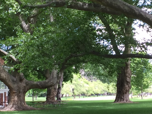 Sycamore Trees: Pioneer Park